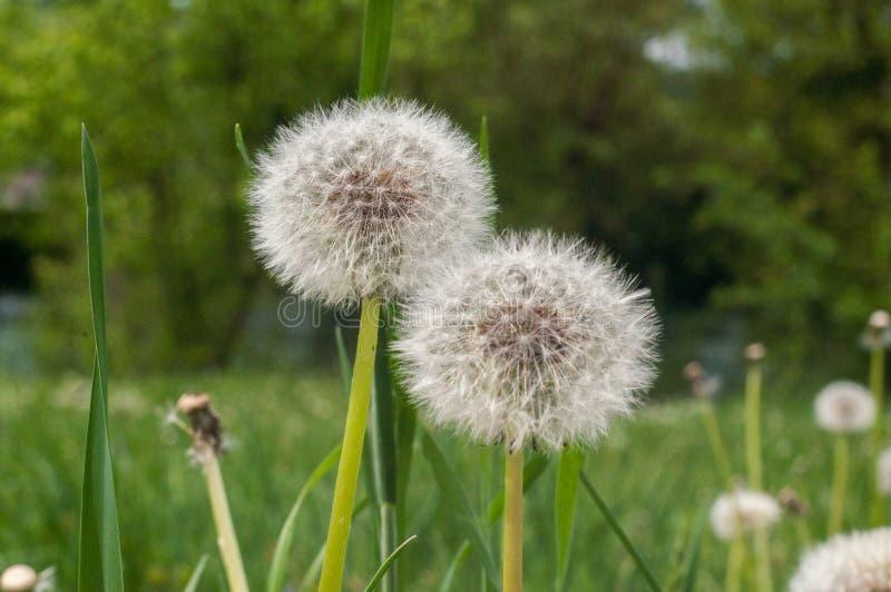 Dente-de-le?o, taraxacum, dente-de-le?o das sementes, espalhando as sementes pelo vento, vento, sopro do vento, branco, prado, pr fotos de stock