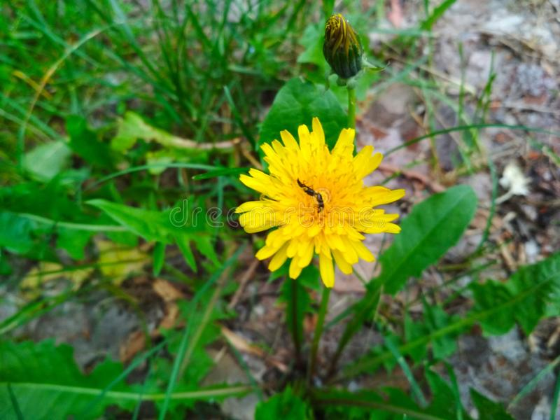 Dente-de-leão, verdes, flor, insetos em uma flor foto de stock royalty free