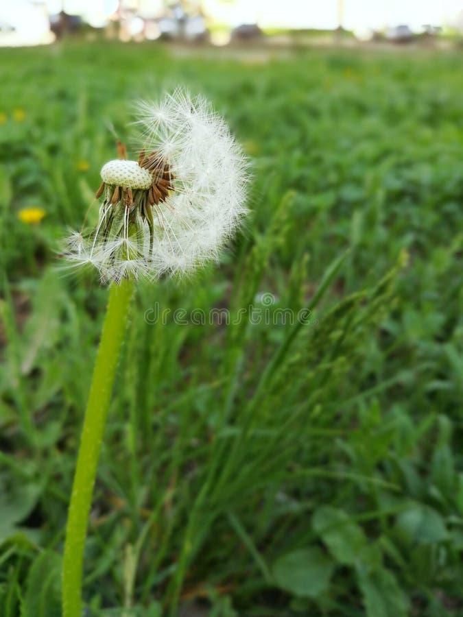 Dente-de-le?o com as sementes do voo na grama verde lux?ria Esta??o da alergia da mola foto de stock royalty free