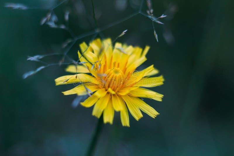 Dente-de-le?o de queda amarelo macio da flor no fundo borrado azul Feche acima da vista macro, lateral Hawkbit do outono imagem de stock