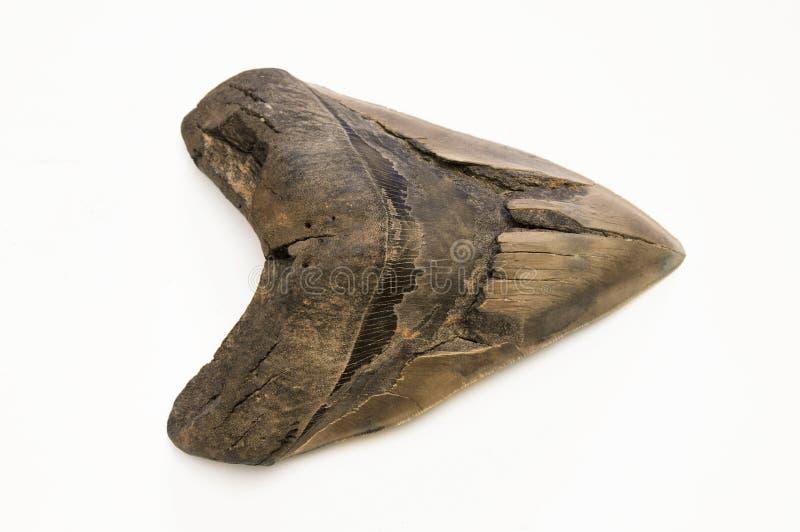 Dente de Megalodon fotografia de stock royalty free