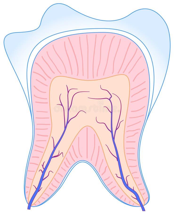 Dente di anatomia illustrazione vettoriale