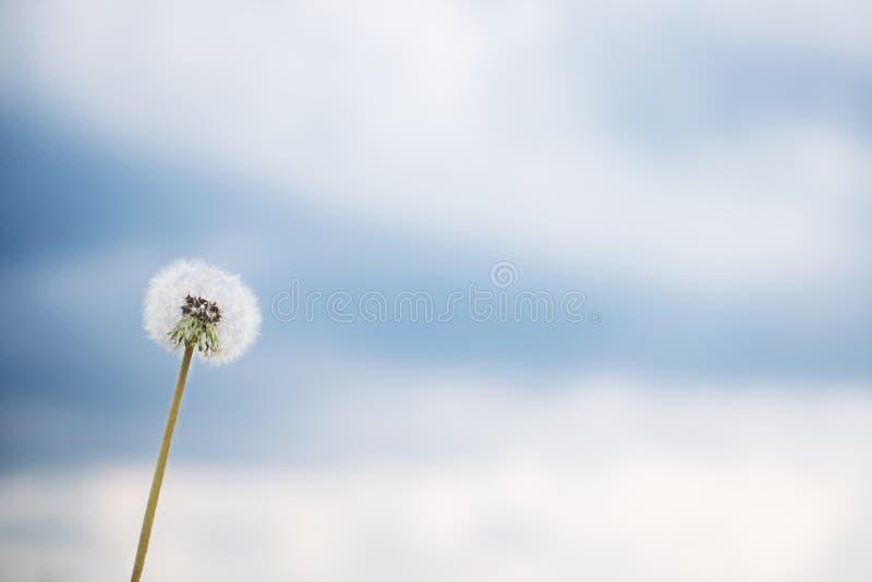Dente di leone bianco contro cielo blu immagini stock libere da diritti