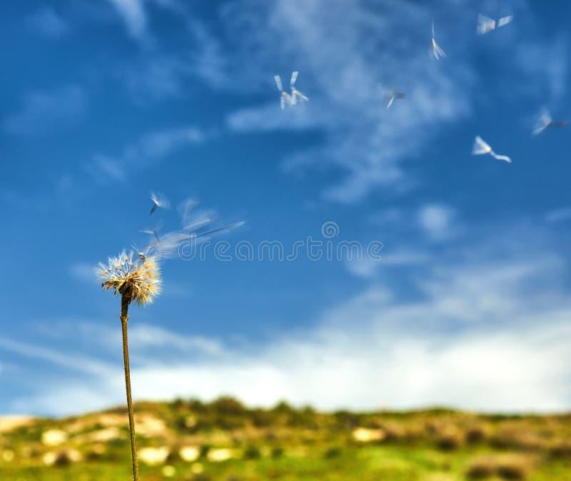 Dente di leone con i semi che soffiano via nel vento fotografie stock
