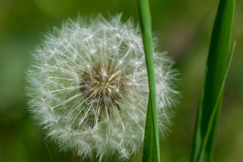 Dente di leone con i semi, l'erba verde ed il fondo vago immagini stock libere da diritti