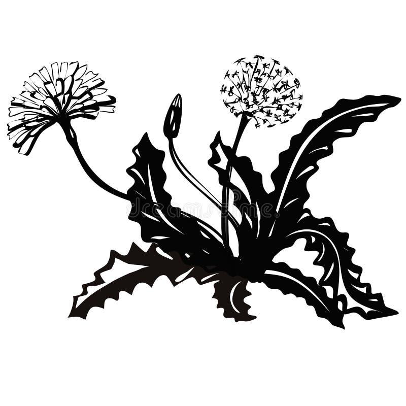 Dente di leone dei fiori della rosetta Siluette nere delle piante di estate su un fondo bianco illustrazione vettoriale