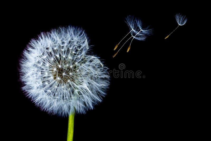 Dente di leone della fioritura che spande il suo seme in vento di salto isolato su fondo nero fotografia stock libera da diritti
