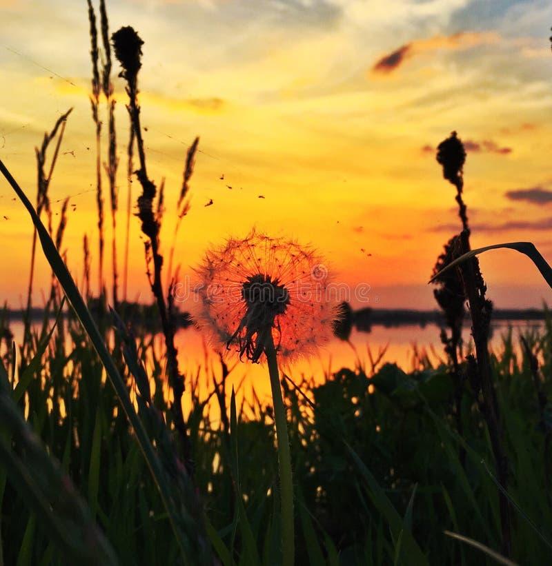 Dente di leone di tramonto immagine stock libera da diritti