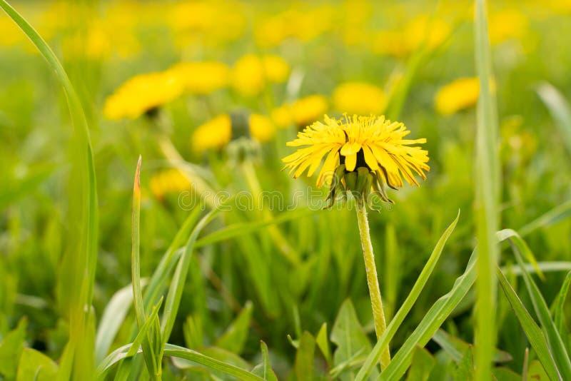 Dente di leone giallo del fiore in erba verde come fondo o immagine fotografia stock libera da diritti