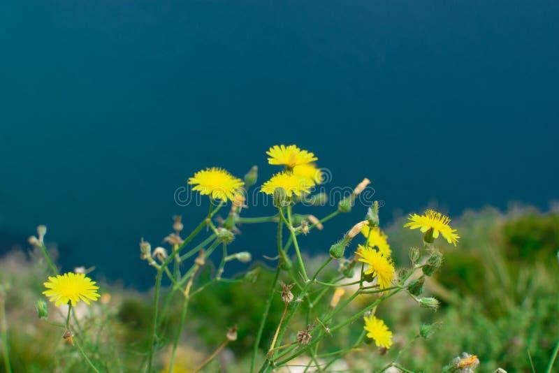 Dente di leone giallo in natura fotografia stock