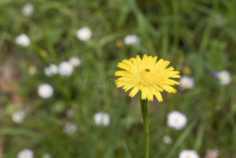 Dente di leone giallo su un fondo di erba verde e dei fiori bianchi immagini stock libere da diritti
