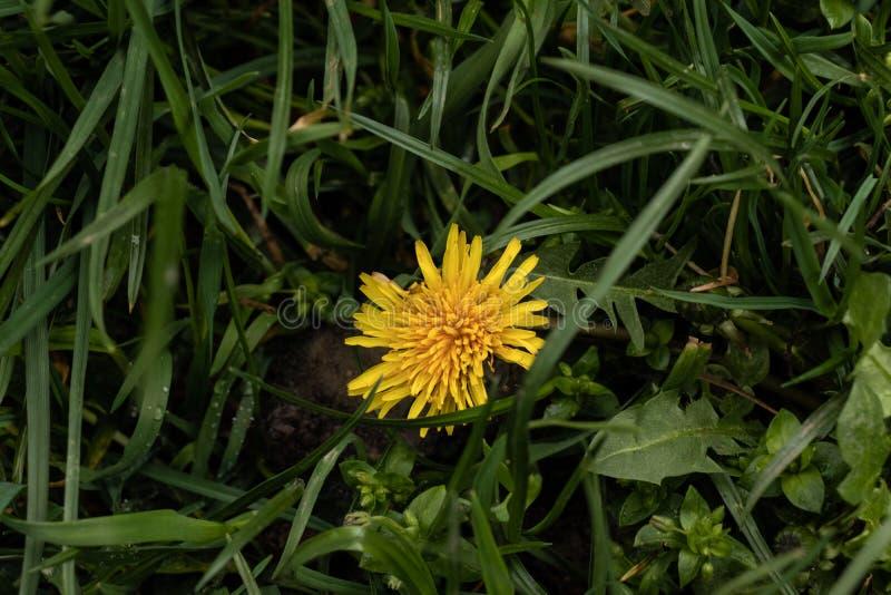 Dente di leone giallo sull'erba verde immagine stock