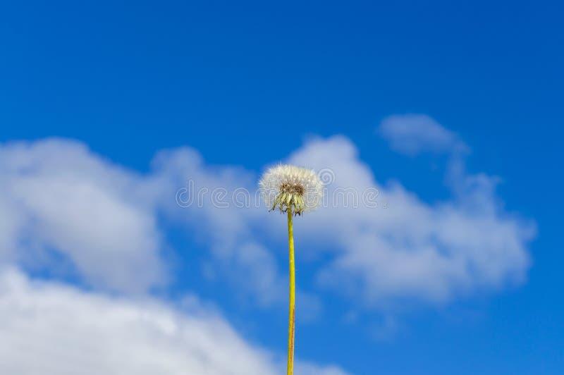Dente di leone solo lanuginoso contro il cielo blu con le nuvole immagine stock libera da diritti