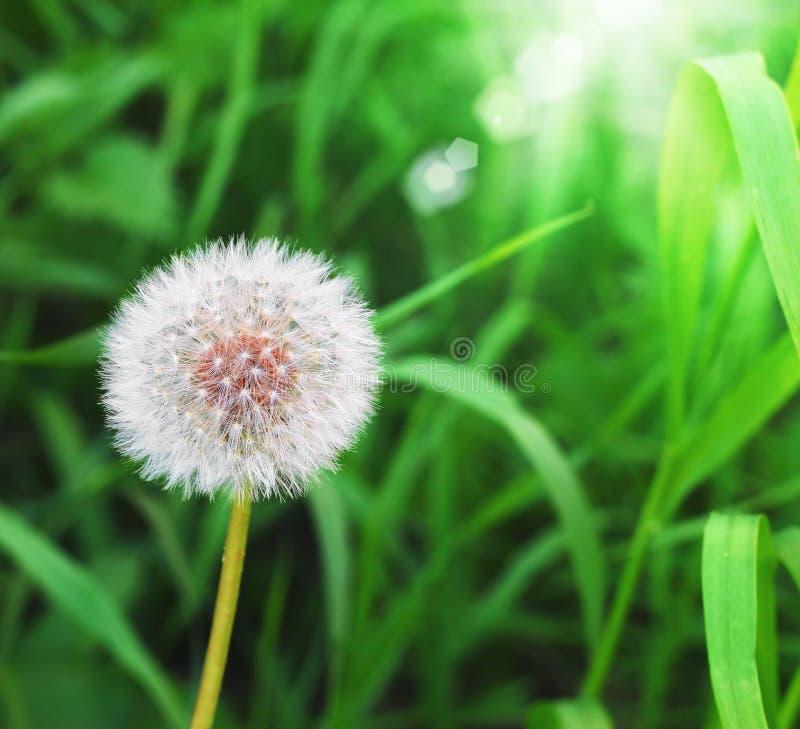 Dente di leone sulla priorità bassa dell'erba verde fotografia stock libera da diritti