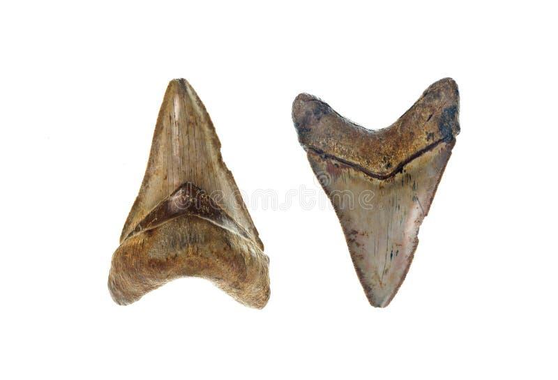 Dente do tubarão de Megalodon foto de stock royalty free