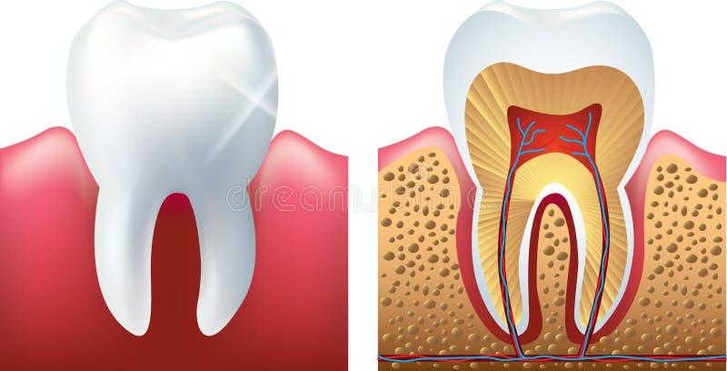 Dente e foto-realistico tagliato  illustrazione vettoriale