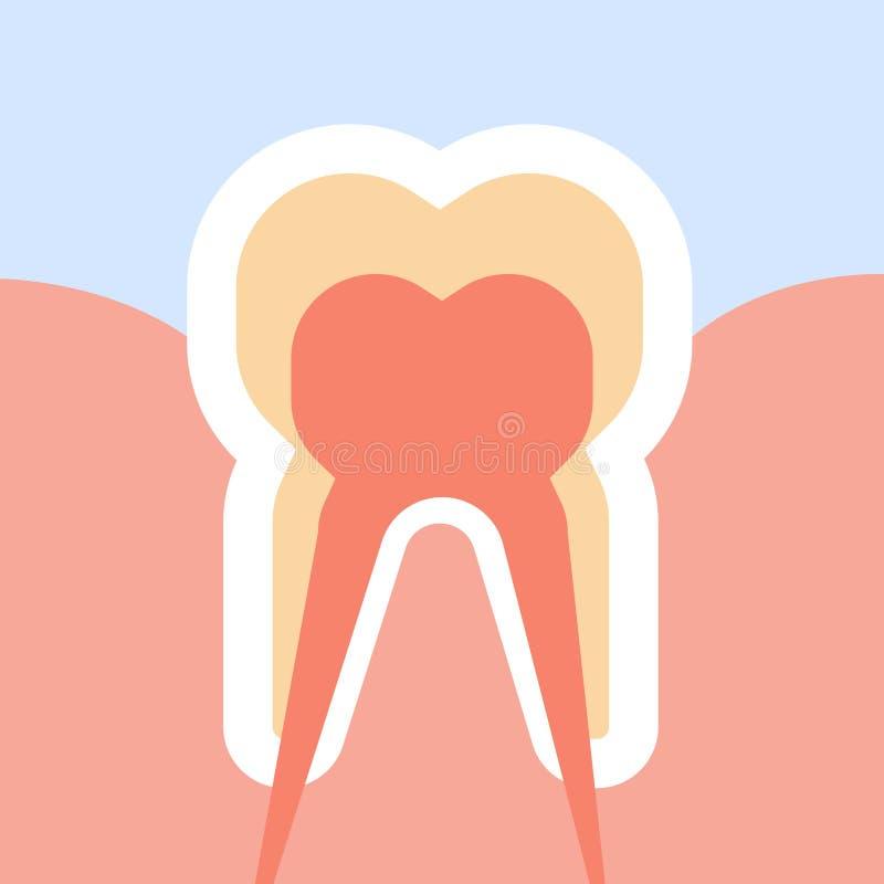 Dente humano saudável no conceito infographic cortado dos cuidados dentários da anatomia da estrutura dos términos de nervos hori ilustração stock