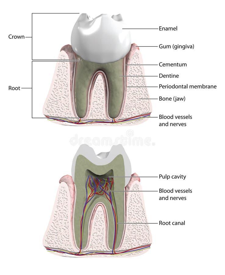Dente molare illustrazione di stock
