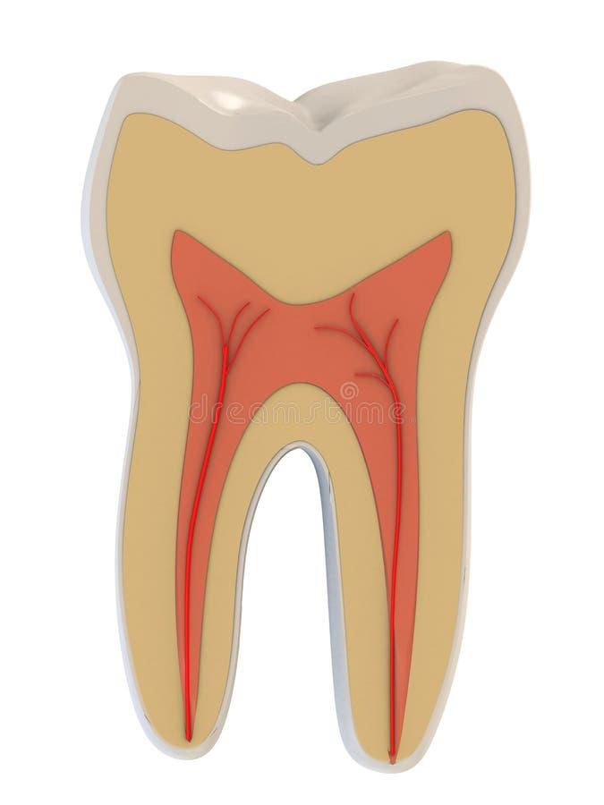 Dente umano illustrazione di stock