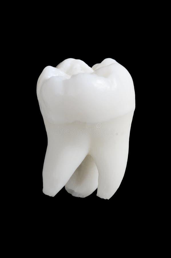 Dente umano fotografia stock libera da diritti