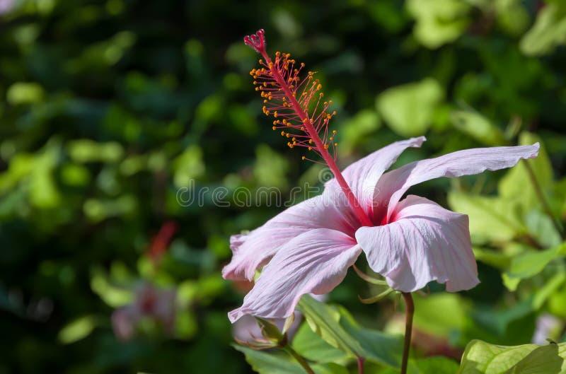 Dentelez la fleur de ketmie photographie stock