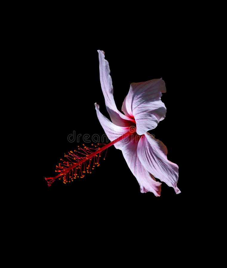 Dentelez la fleur de ketmie image stock