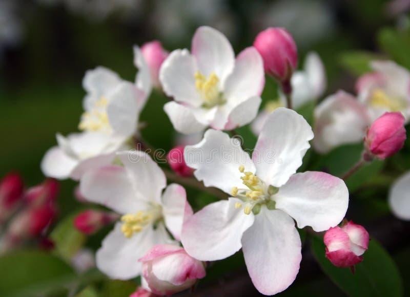 Dentelez les fleurs d'Apple photo stock