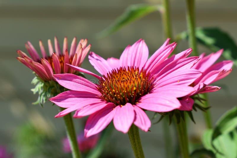 Dentelez les fleurs d'Echinacea photographie stock