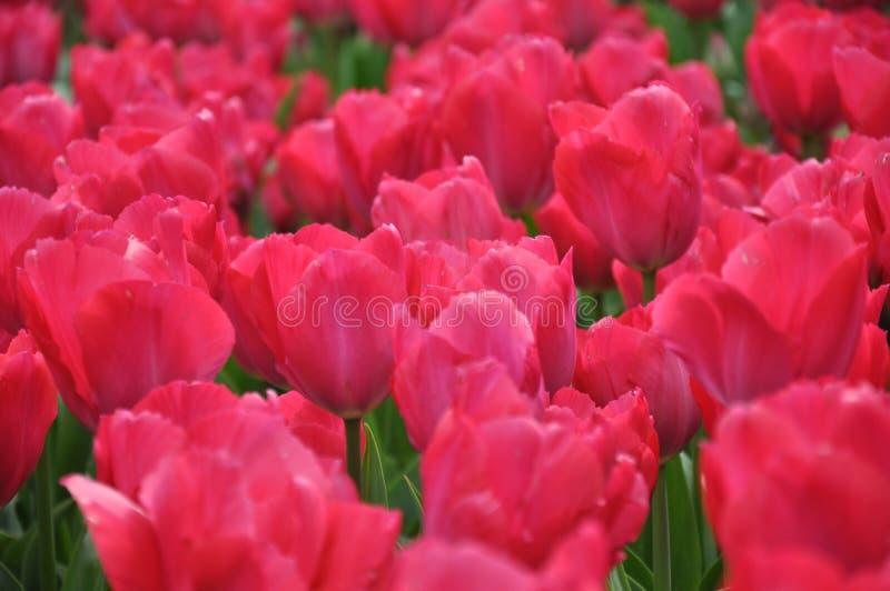 Dentelez les tulipes photo stock