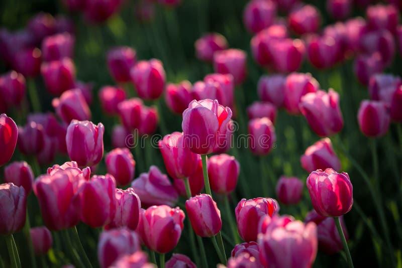 Dentelez les tulipes Champ des tulipes Belle source image libre de droits