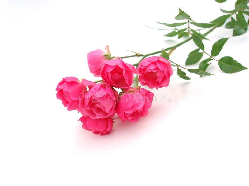 Dentelez rose images stock