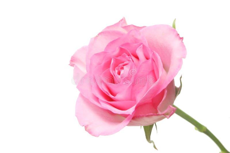 dentelez rose photos libres de droits