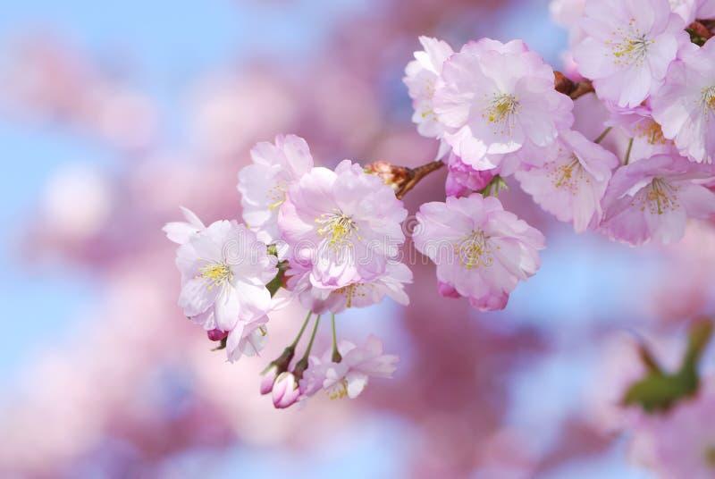 Dentelli i fiori di ciliegia immagine stock