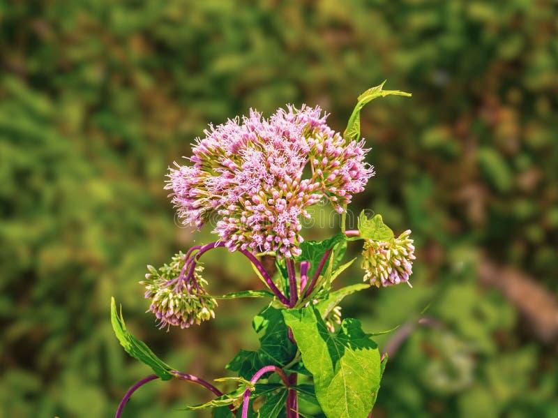Dentelli il fiore macchiato dell'erbaccia di Joe-Pye o il fondo vago Maculatum di Eutrochium immagini stock