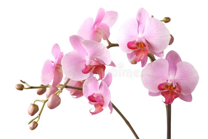 Dentelli l'orchidea fotografie stock libere da diritti