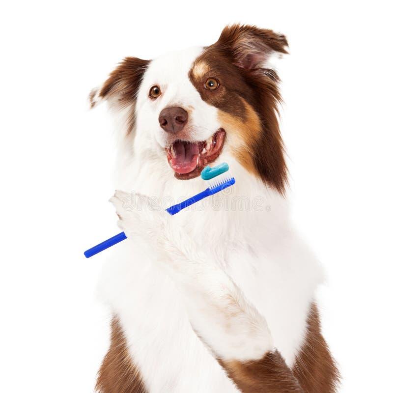 Dentes de escovadela do cão de Sheltie imagem de stock royalty free