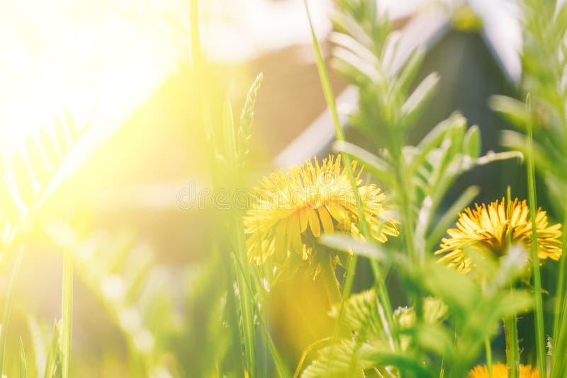 Dentes-de-leão amarelos e grama verde na luz solar contra uma casa da vila imagens de stock
