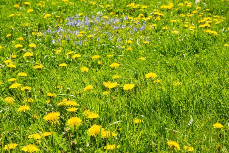 Dentes-de-leão amarelos no dia solar do ` s do verão do espaço livre do prado imagens de stock royalty free