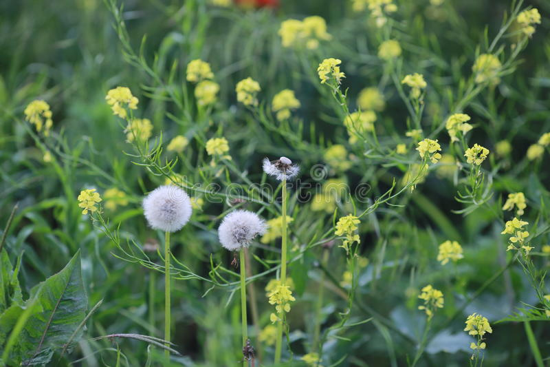 Dentes-de-leão brancos e flores amarelas fotos de stock