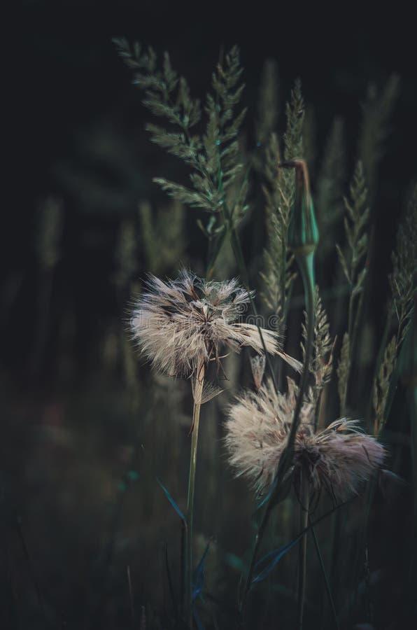 Dentes-de-leão brancos em um fundo de ervas do campo Perto das hastes verdes Lugar para o texto Close-up Foco macio foto de stock