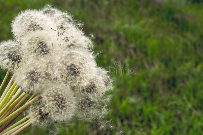 Dentes-de-leão do verão do ramalhete e prado verde imagens de stock royalty free