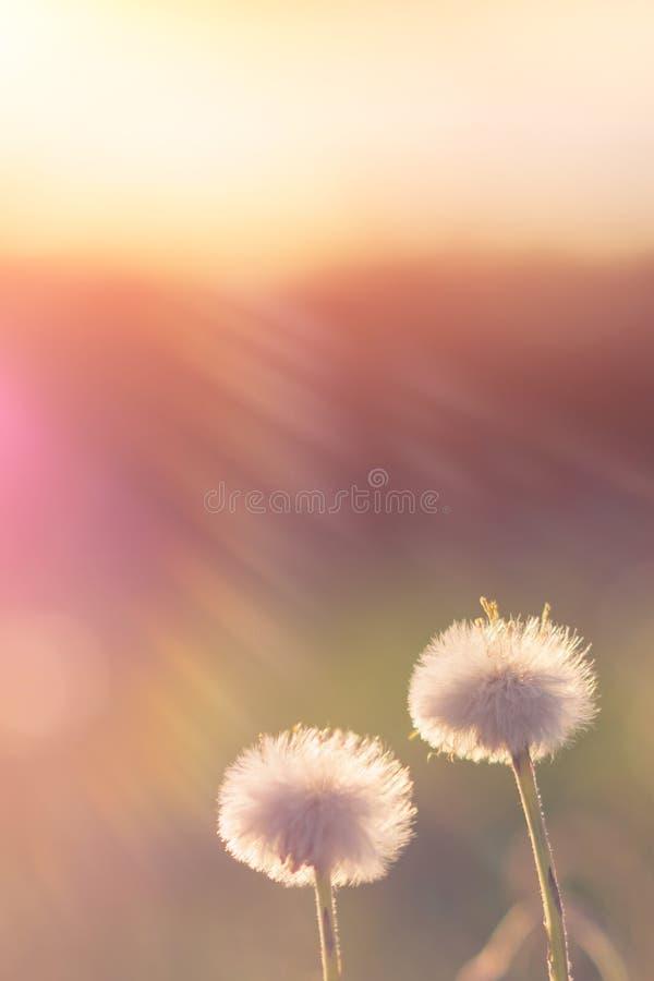 Dentes-de-leão no por do sol com os raios do sol imagem de stock
