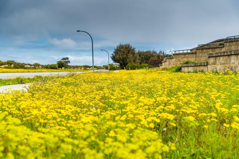Dentes-de-leão que florescem no lado da estrada na primavera fotos de stock