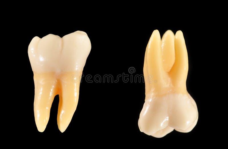 Dentes do Molar isolados no preto fotografia de stock royalty free