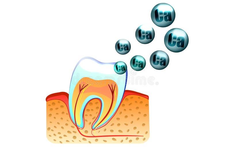 Dentes e cálcio ilustração do vetor