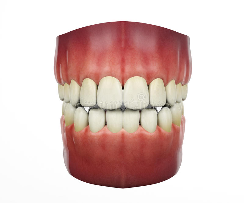 Dentes humanos no fundo branco ilustração do vetor
