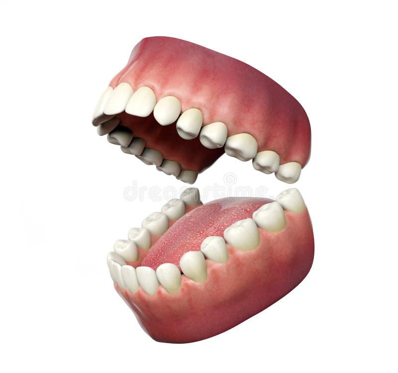 Dentes humanos que abrem no fundo branco ilustração royalty free