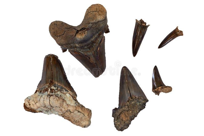 Dentes pré-históricos do tubarão fotografia de stock
