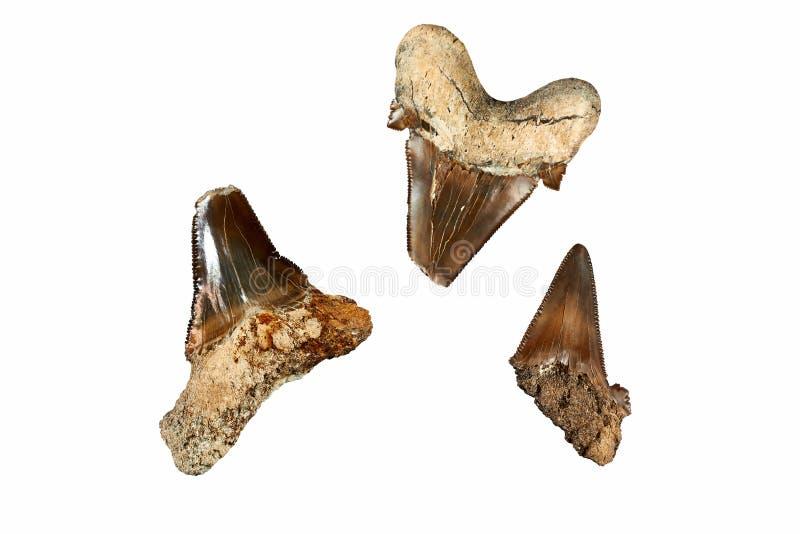 Dentes pré-históricos do tubarão imagem de stock
