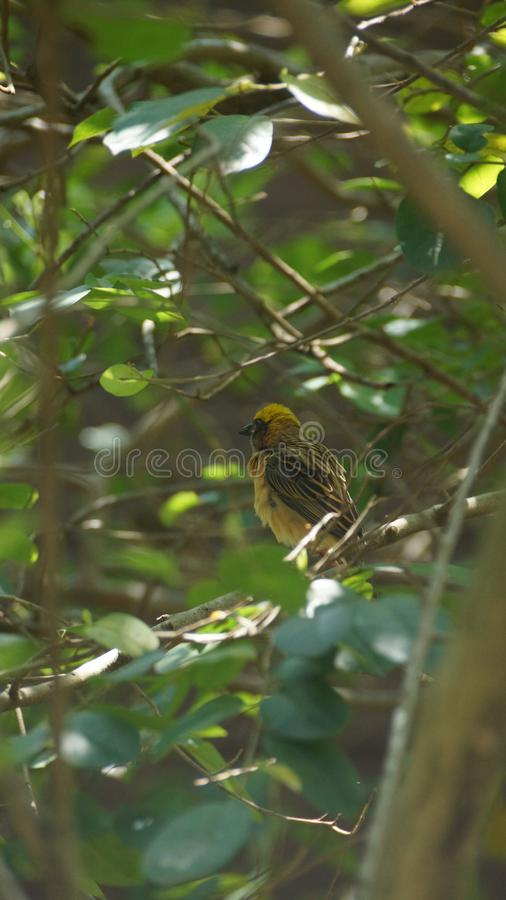 Denthroated bulbulen eller denthroated bulbulen, är art av sångfågeln i bulbulfamiljen av passerine fåglar fotografering för bildbyråer